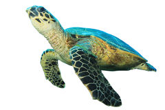 Hawksbill Turtle on white