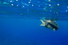 Hawksbill turtles Eretmochelys imbricata mating in the ocean Royalty Free Stock Image