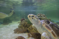 Hawksbill turtles live in the sea naturally. Stock Images