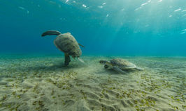 Hawksbill turtles playing together on sandy sea bottom Royalty Free Stock Image