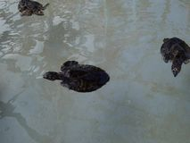 Hawksbill turtles in a salt-water pool. Amphibious marine life swimming at a turtle sanctuary on bequia stock footage