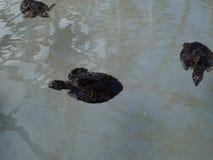 Hawksbill turtles in a salt-water pool stock footage