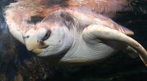 hawksbillhavssköldpadda Arkivfoto