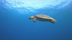 Hawksbillschildpad die aan de oppervlakte 4K zwemmen Stock Fotografie
