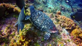 Hawksbillschildpad door engelenvissen wordt omringd terwijl het voeden op het koraal in de wateren van Cozumel die stock video