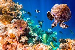 Hawksbillschildpad - Eretmochelys-imbricata Stock Afbeelding