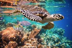 Hawksbillschildpad - Eretmochelys-imbricata Stock Foto