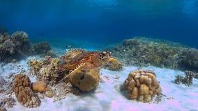 Hawksbillschildpad op een koraalrif Stock Foto