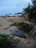 Hawksbillschildpad op het strandwijfje die het ei leggen royalty-vrije stock foto's