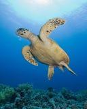 hawksbillsköldpadda Arkivbild