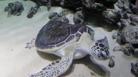 Hawksbillsköldpaddan och de röda snapperna för kejsare i ett akvarium Eretmochelysimbricata stock video