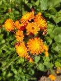 Hawkweed amarelo Fotografia de Stock Royalty Free
