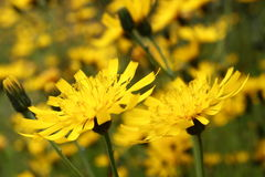 Hawkweed flowers Stock Photos