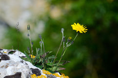 Hawkweed royalty free stock image