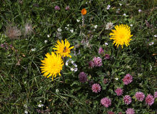 Hawkweed. A kind of Hawkweed (Scorzoneroides helvetica) in the alpine meadow Stock Photos