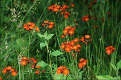 Hawkweed orange dans le pré vert Photo libre de droits