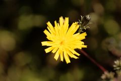 Hawkweed oxtongue Picris hieracioides Royalty Free Stock Photography