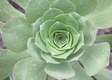 Haworth's aeonium Stock Photography