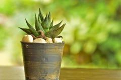 Haworthia在一个老塑料罐的limifolia仙人掌有迷离背景在庭院家 免版税库存照片