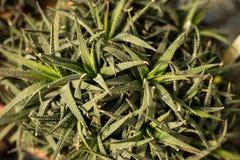Haworthia Оно имеет мясистое, но вытягивать и указанный к концам листьев с serrated шипами на краях или закоченетой белизне стоковая фотография