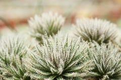Haworthia玻璃 库存照片