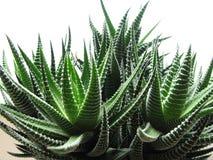 Haworthia Immagini Stock