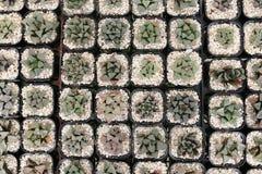 Haworthia стоковая фотография