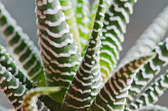 Haworthia bandaged cactus. Detail of a cactus  haworthia fasciata Stock Photo