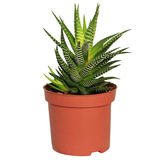 Haworthia in brown flowerpot. On white background Royalty Free Stock Photography