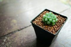Haworthia cooperi Lizenzfreies Stockfoto