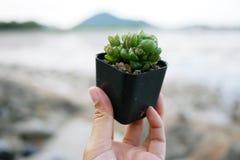 Haworthia Cooperi in der Hand mit Strandhintergrund Stockbilder