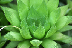 Haworthia cooperi Stock Photos