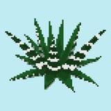 Haworthia da planta carnuda do pixel Imagens de Stock Royalty Free