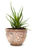 Haworthia dans le pot de fleurs d'isolement sur le blanc Image libre de droits