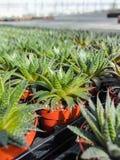 Haworthia is een grote houseplant soort van kleine succulente installaties, Stock Foto's