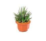 Haworthia Fasciata , succulent plant on white background Royalty Free Stock Photo
