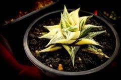 Haworthia limiforavariegata, kaktus Arkivbilder