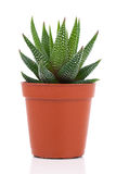 Haworthia Mix, cactus, succulent plant Royalty Free Stock Photography
