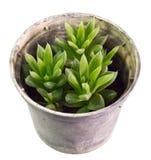 Haworthia mucronata Royalty Free Stock Image