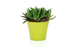Haworthia plant Stock Images