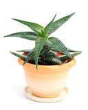 Haworthia in in a pot Royalty Free Stock Photography