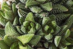 Haworthia Reinwardtii obenliegend Stockbilder