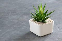 Haworthia succulent στο δοχείο στο γκρίζο συγκεκριμένο υπόβαθρο στοκ φωτογραφία με δικαίωμα ελεύθερης χρήσης