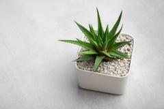 Haworthia succulent in pot op wit bureau Exemplaarruimte voor tekst royalty-vrije stock fotografie