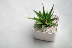 Haworthia succulent in pot on white desk. Copy space for text. royalty free stock photography