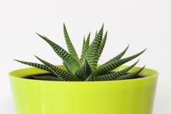Haworthia succulente Immagini Stock