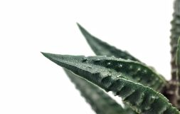 Haworthia t?ustoszowaty kaktusowy makro- zbli?enie na bia?ym tle zdjęcie royalty free