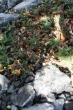 Haworthia tessellata多汁植物学庭院 免版税库存图片