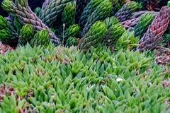Haworthia tessellata rośliny liścia kaktusowy tłustoszowaty zakończenie w górę widoku na skalistej kamień ziemi Ładna tło tekstur Obrazy Royalty Free