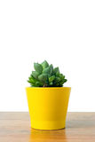 Haworthia in un vaso giallo Fotografia Stock